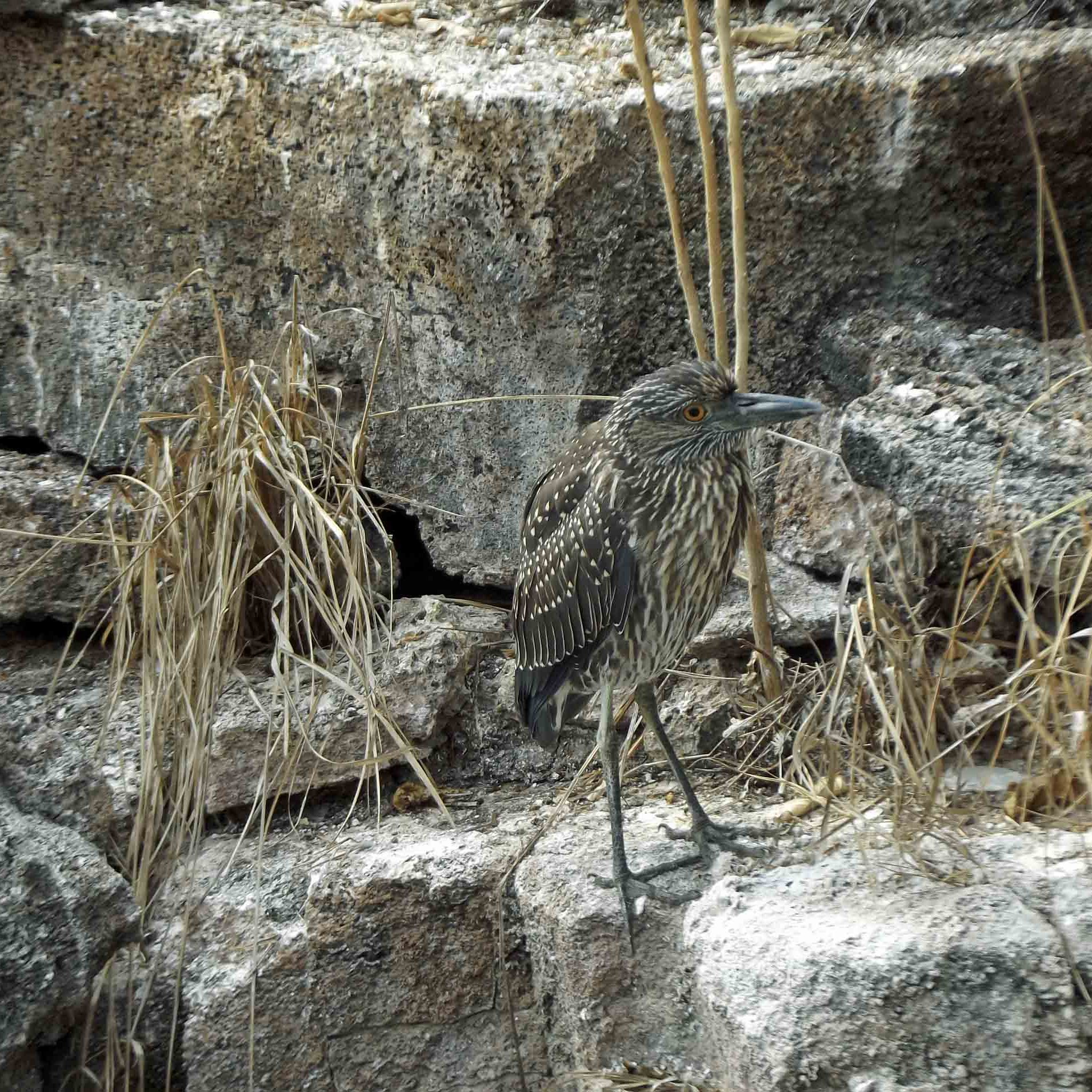 Brown speckled bird with long legs on rocks