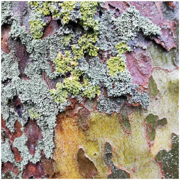 Flaking tree bark grey, yellow and red