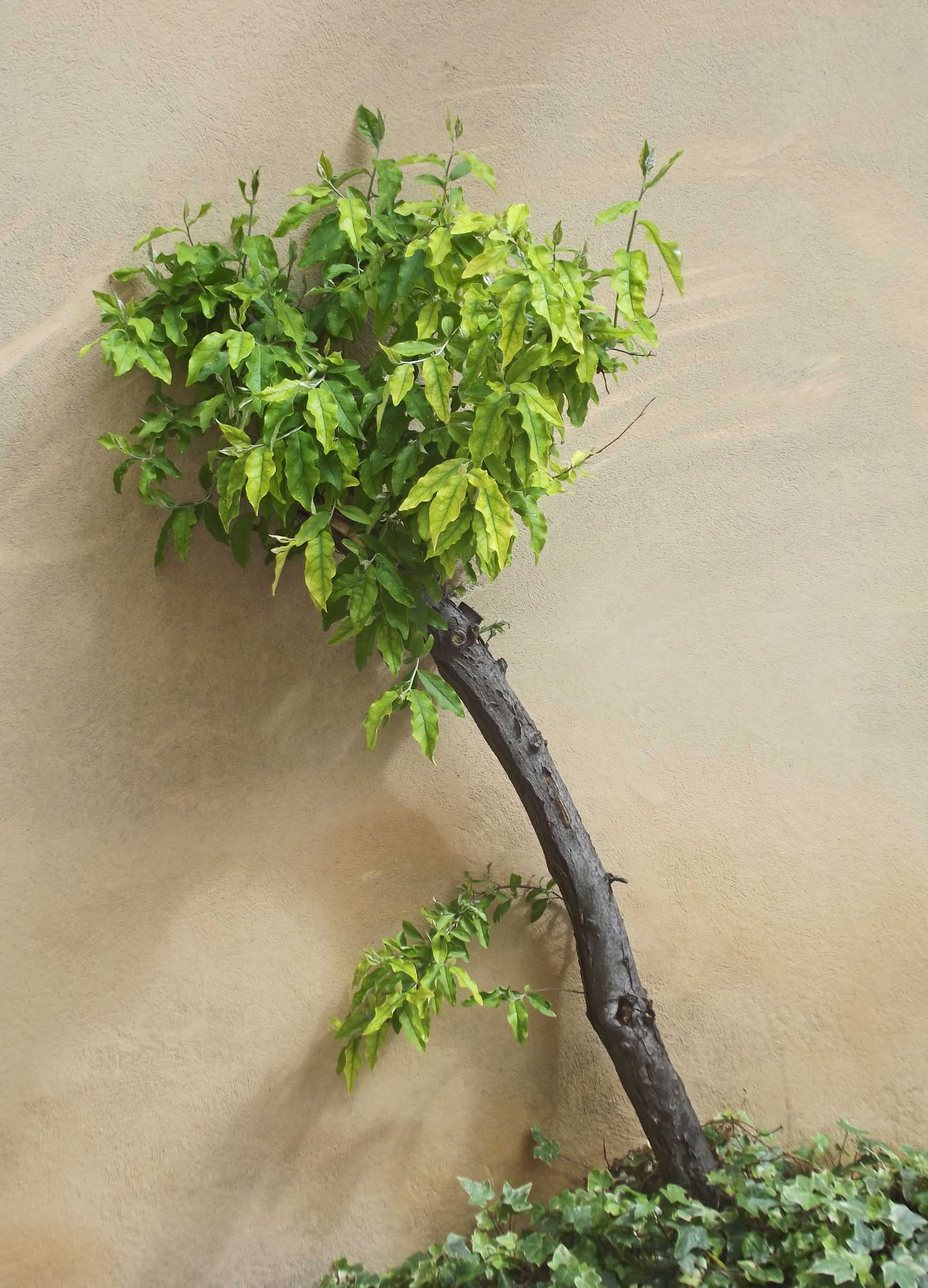 Small tree against a cream painted wall