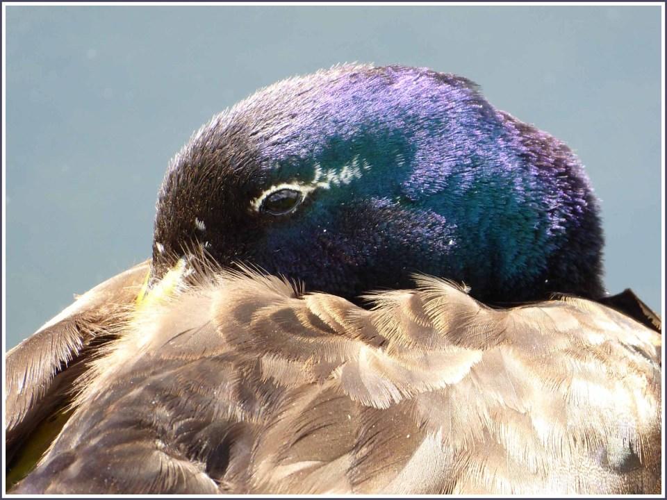 Duck's head with purple sheen