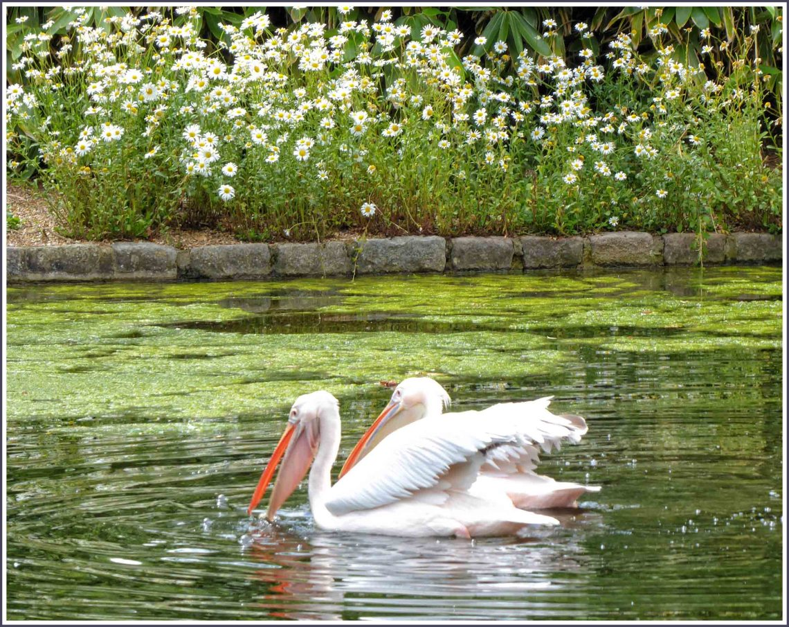 Two pelicans swimming with daisies beyond