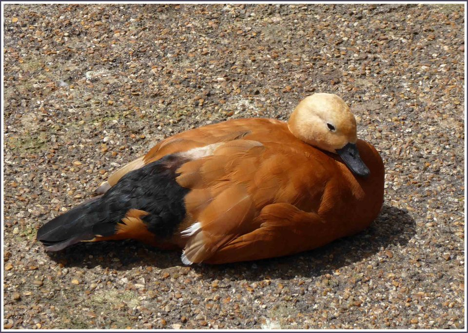 Tan and black duck