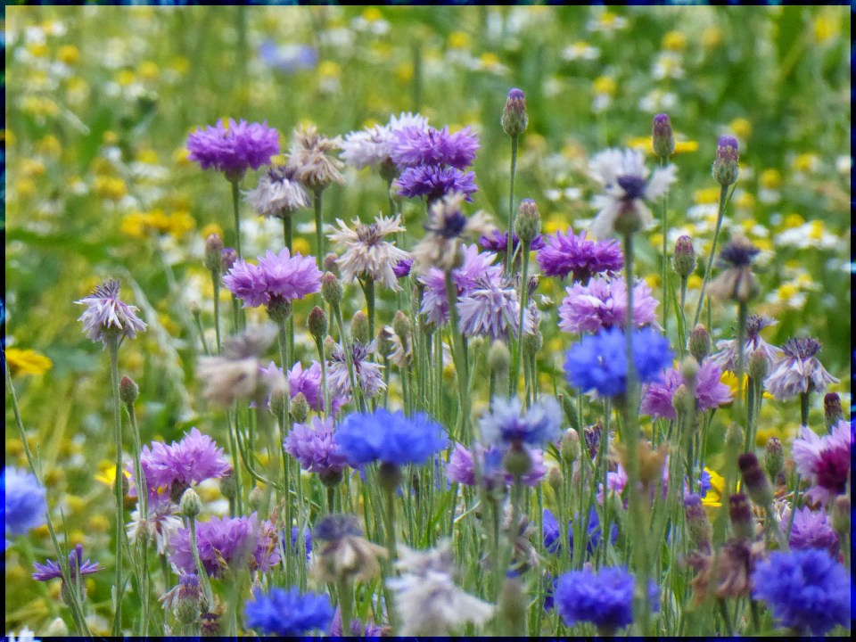 Lots of blue and mauve flowers