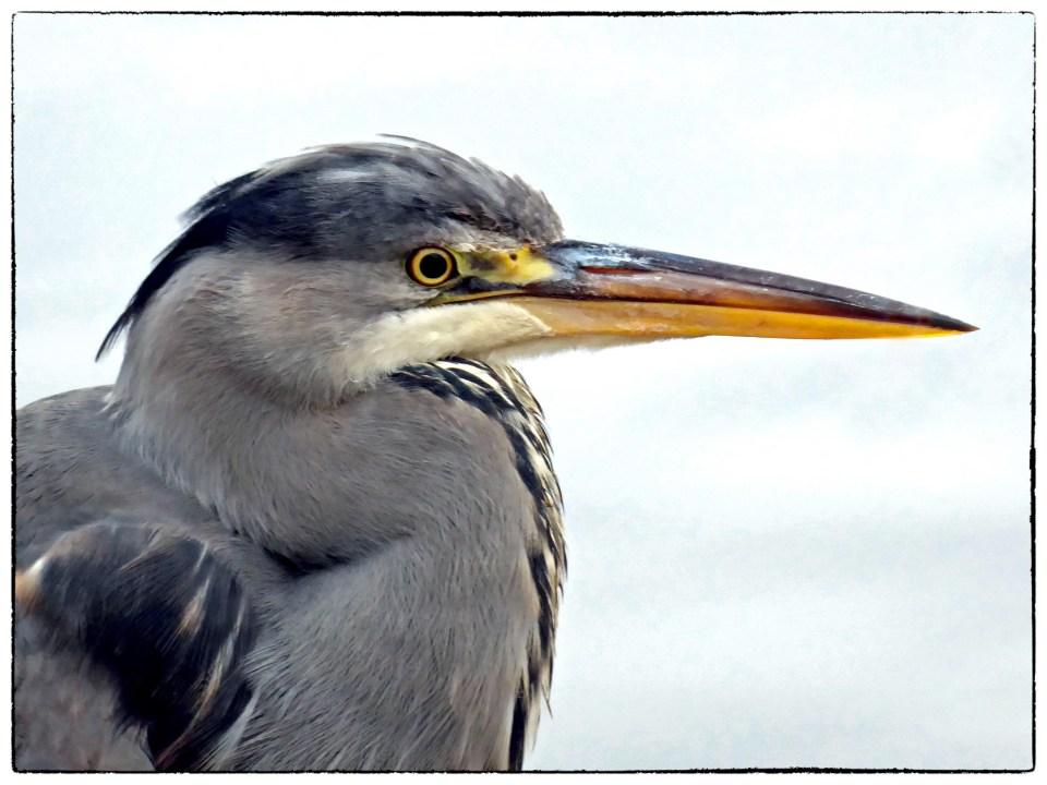 Close-up view of large grey heron