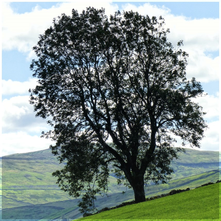 Large dark tree with green valley beyond