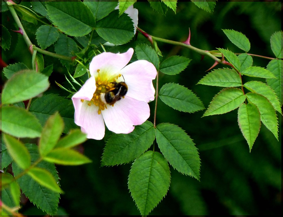 Small pink rose on a bush with a bee