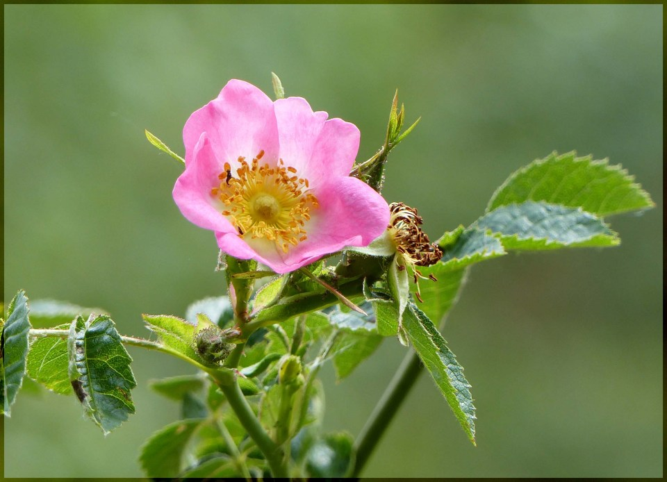 Small pink rose