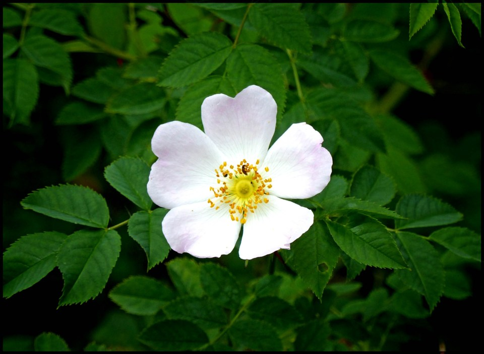 Small pale pink rose