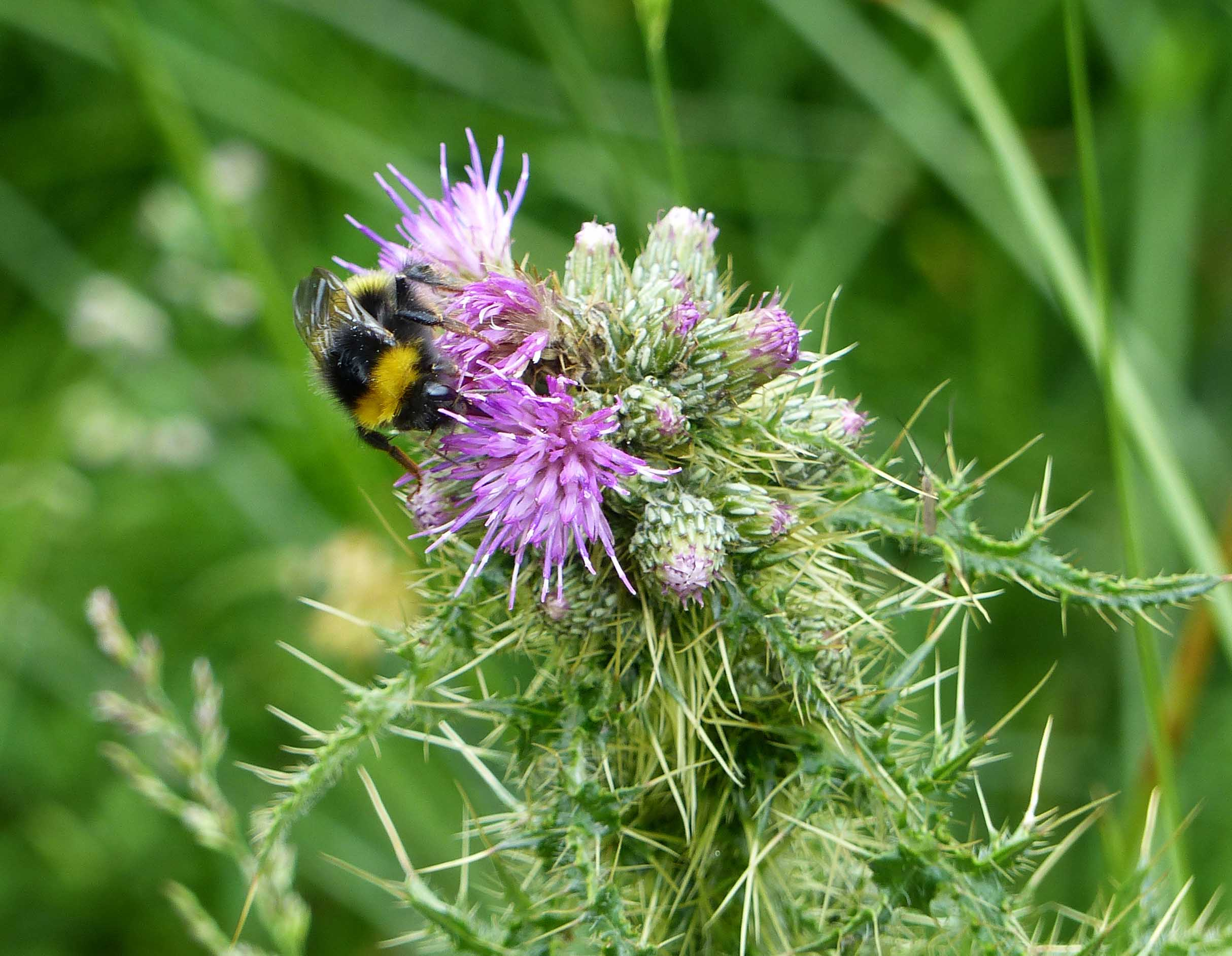 Bee on a mauve thistle flower
