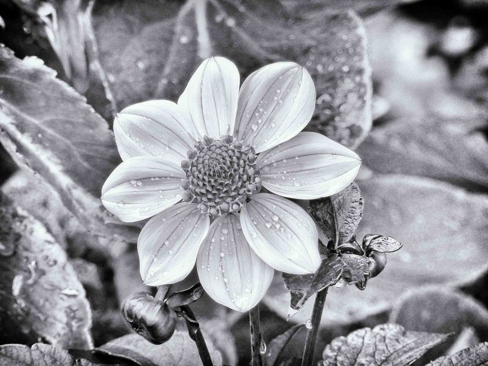 Black and white photo of a flower