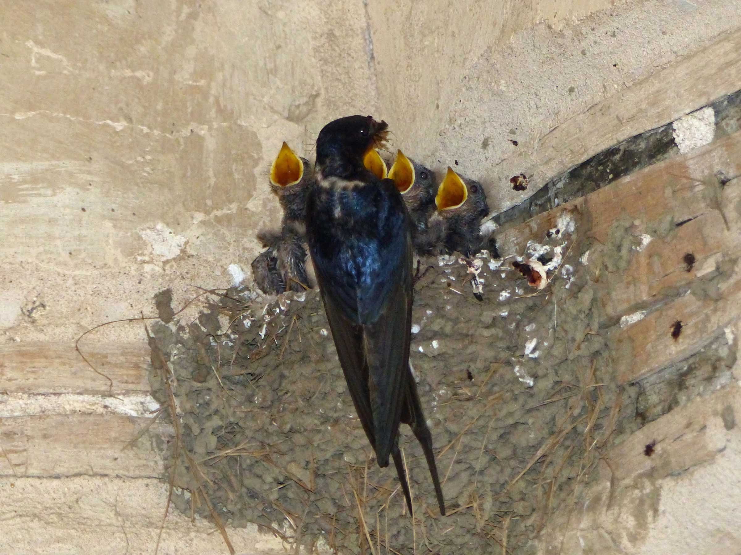 Baby birds in a nest with beaks open and adult feeding them