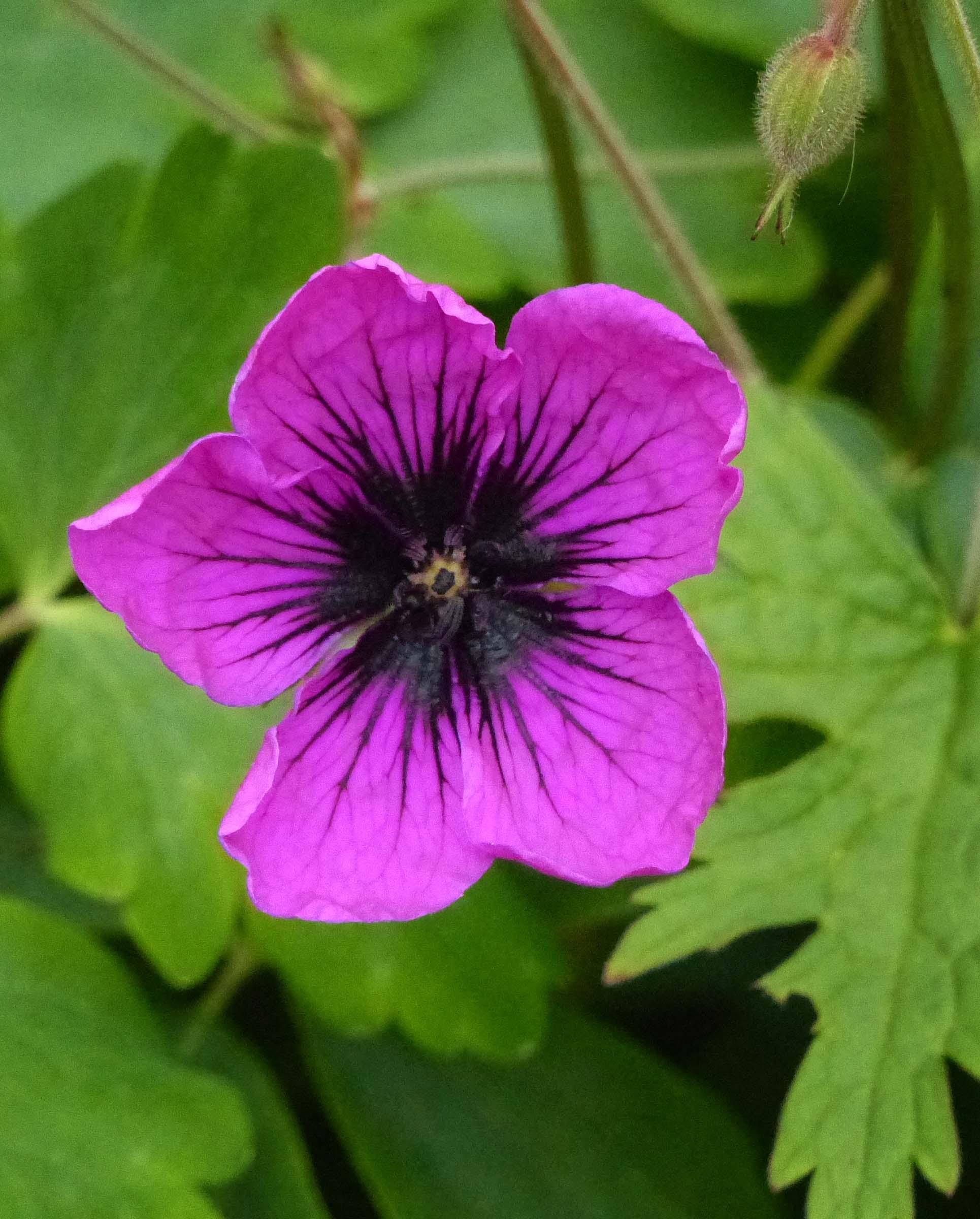 Deep pink flower with dark centre