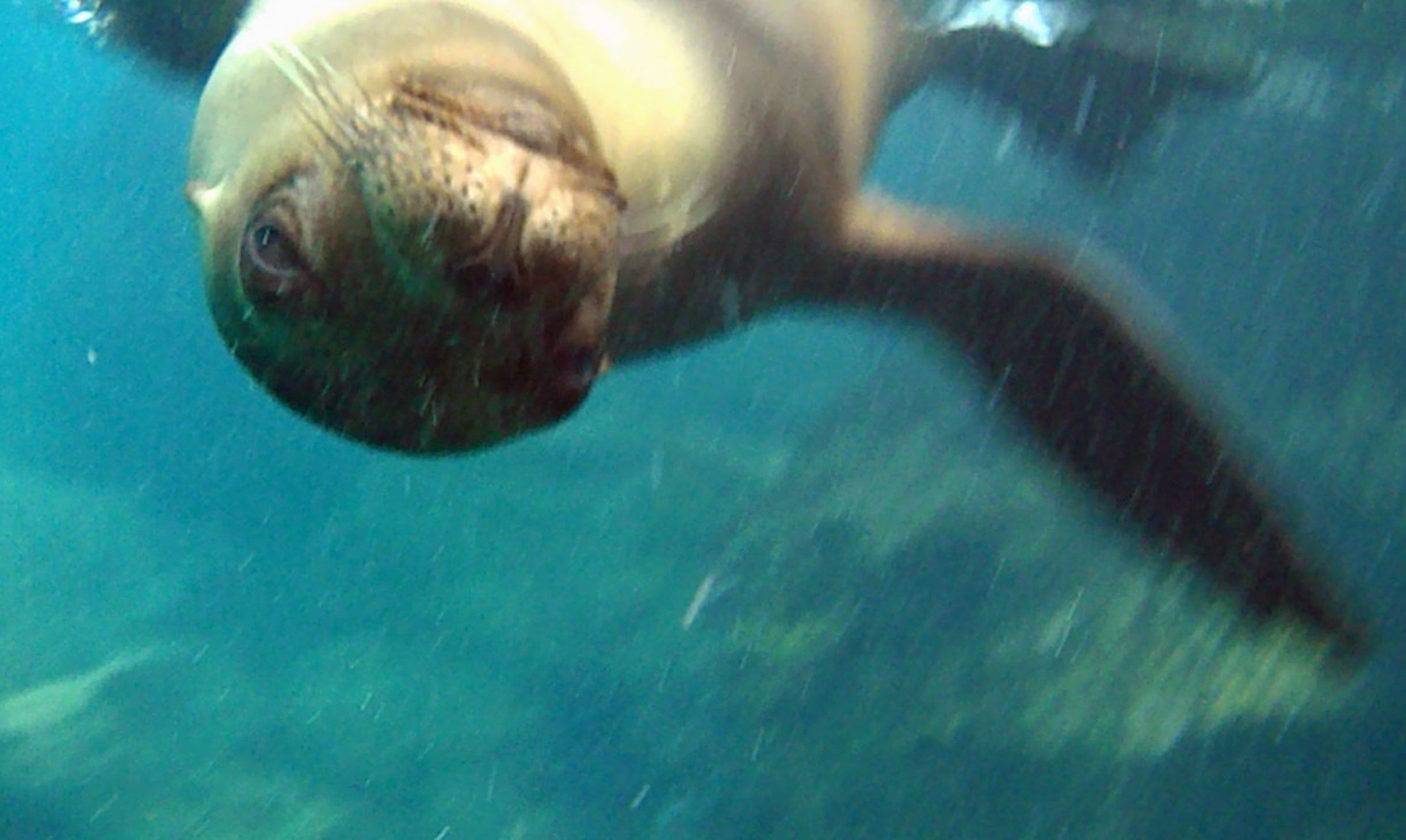 Underwater photo of seal's face