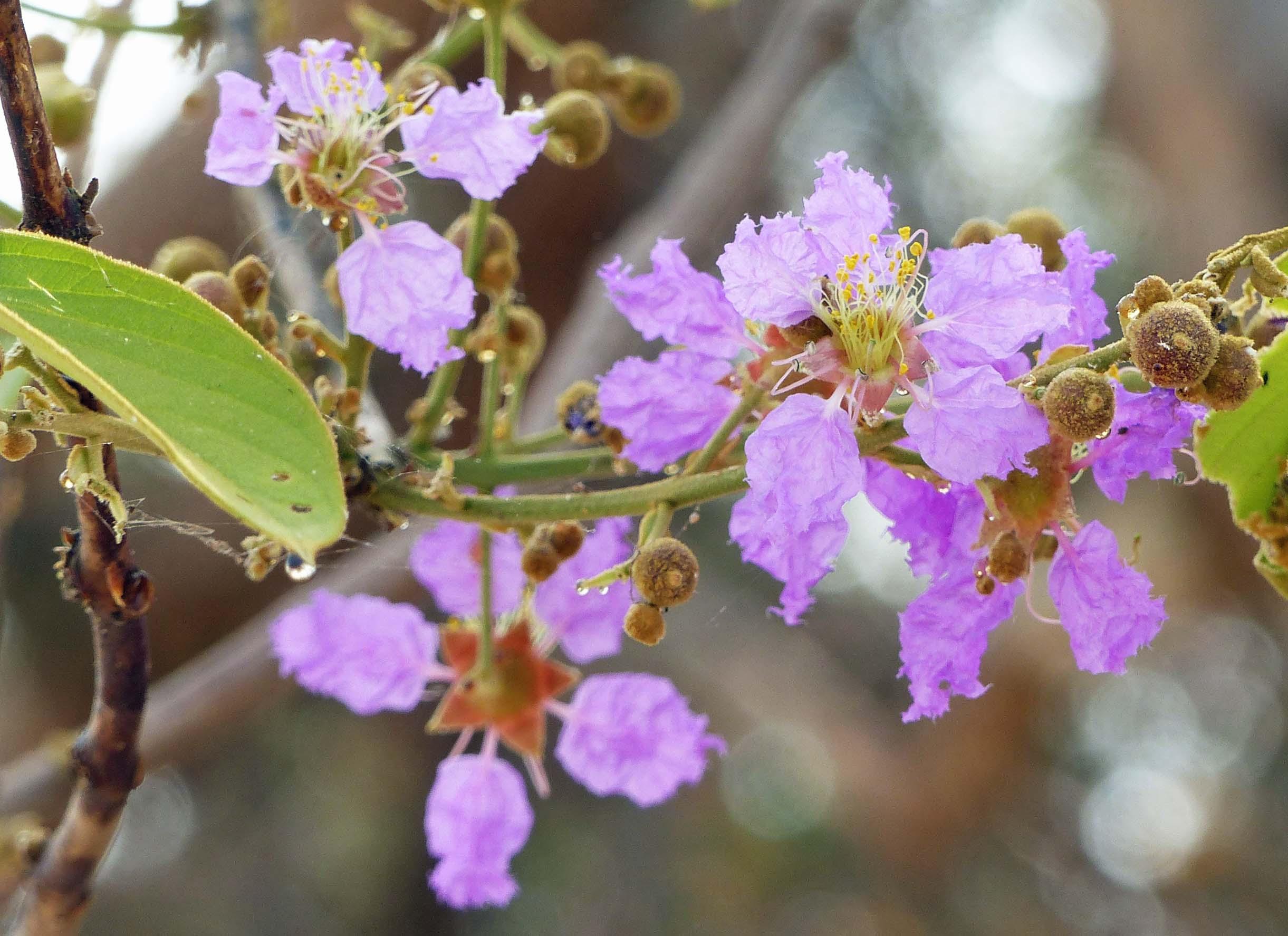 Small mauve blossoms
