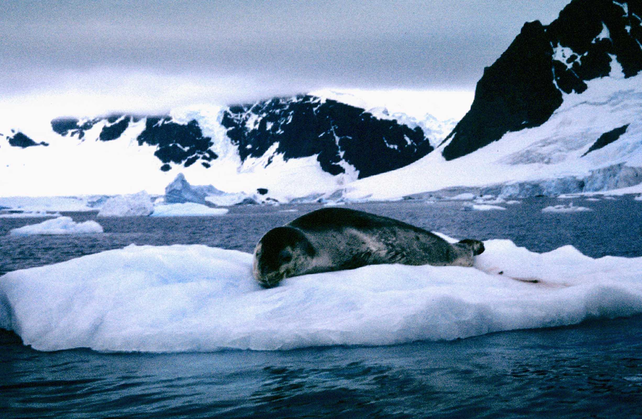 Seal on a small iceberg