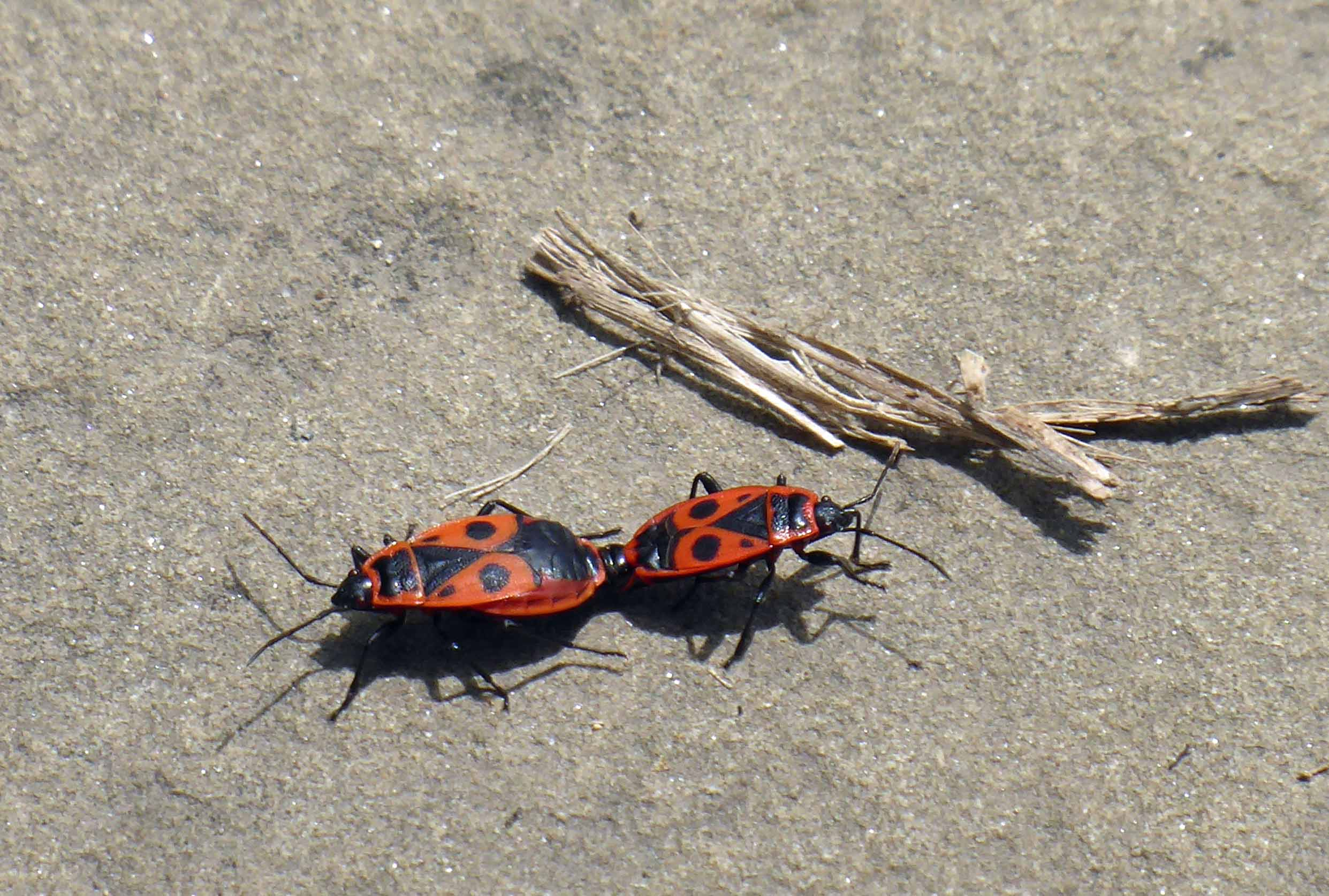 Two red and black beetles mating on the ground