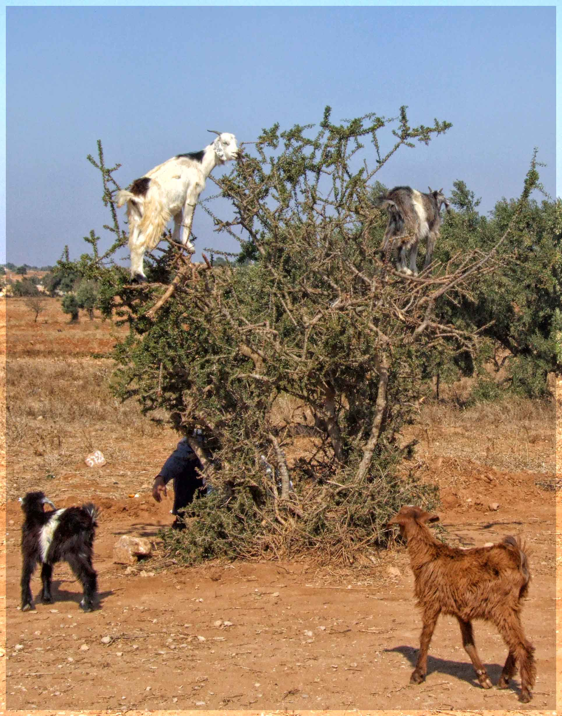 Scrubby bush with goats in and around it