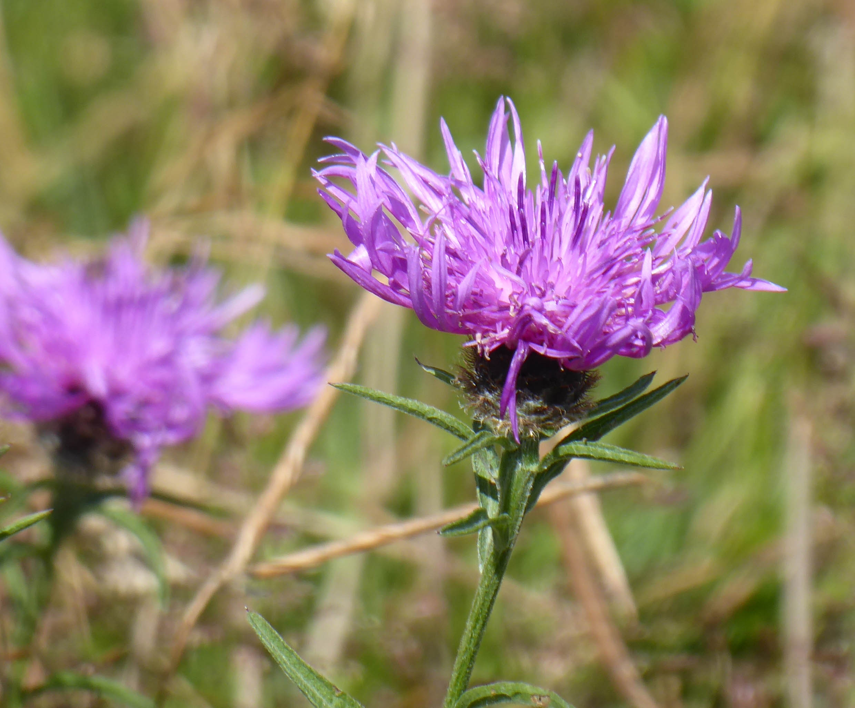Spiky mauve flowers
