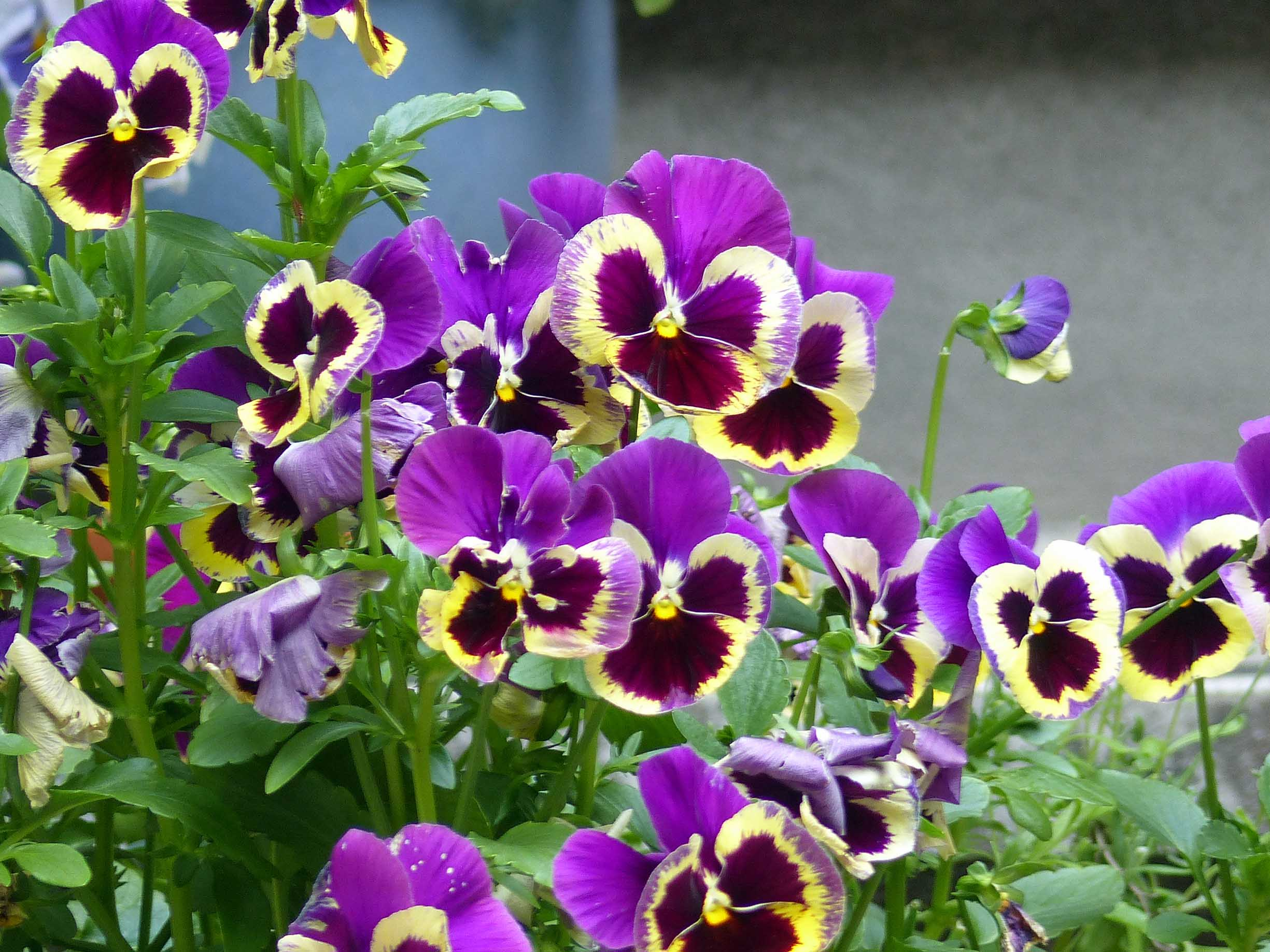 Mauve and yellow pansies
