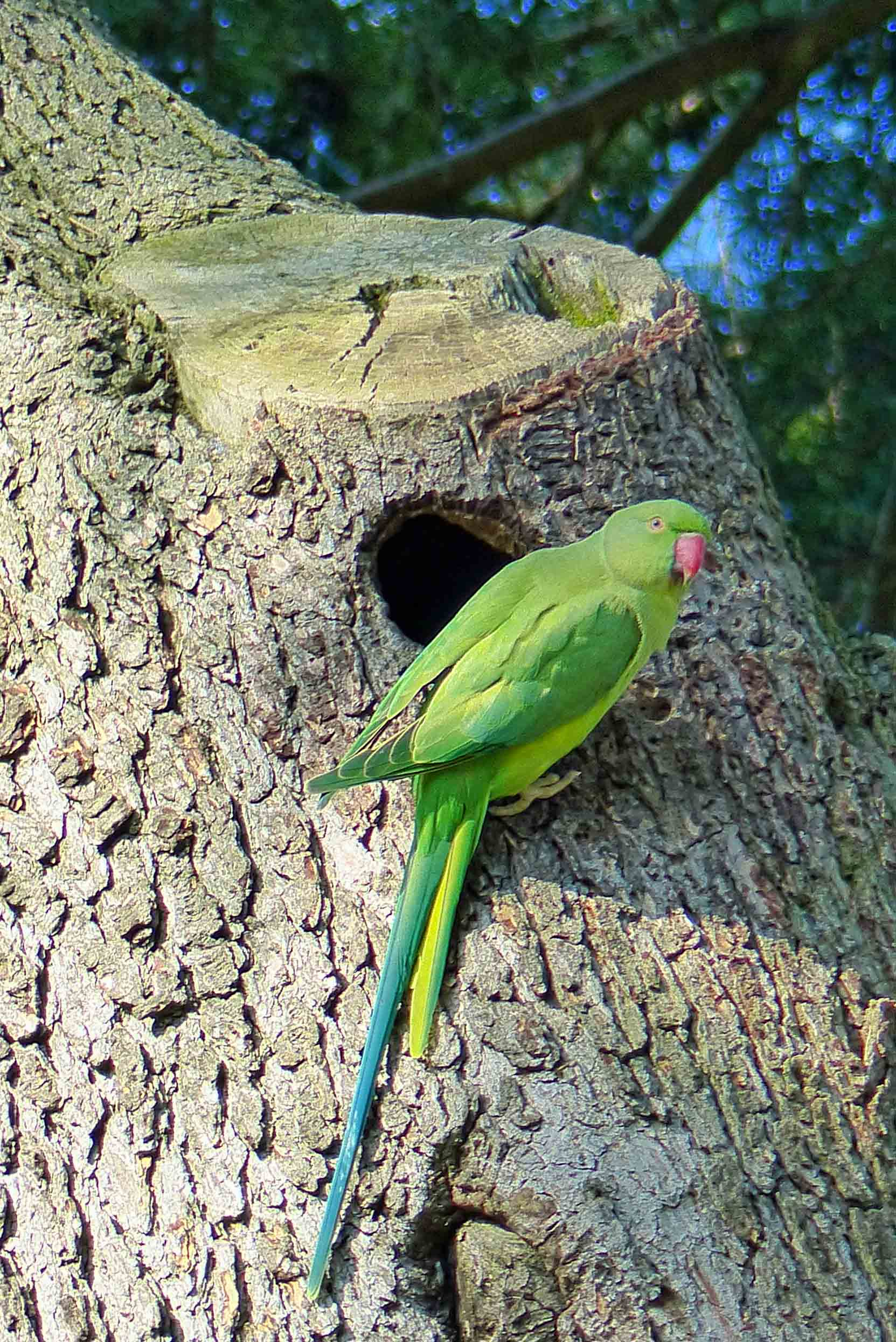 Green bird with long tail by a hole in a tree trunk