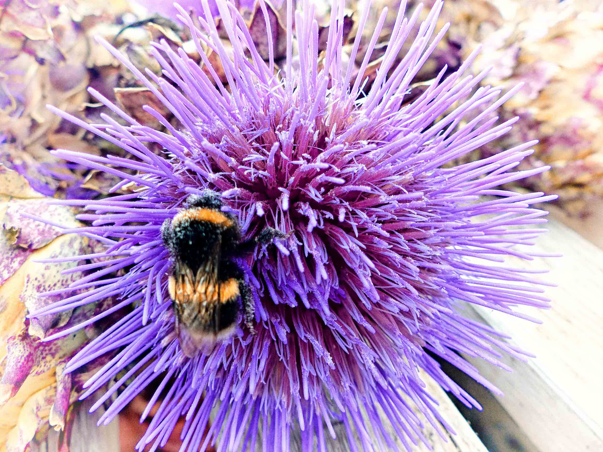 Spiky mauve flower with bee