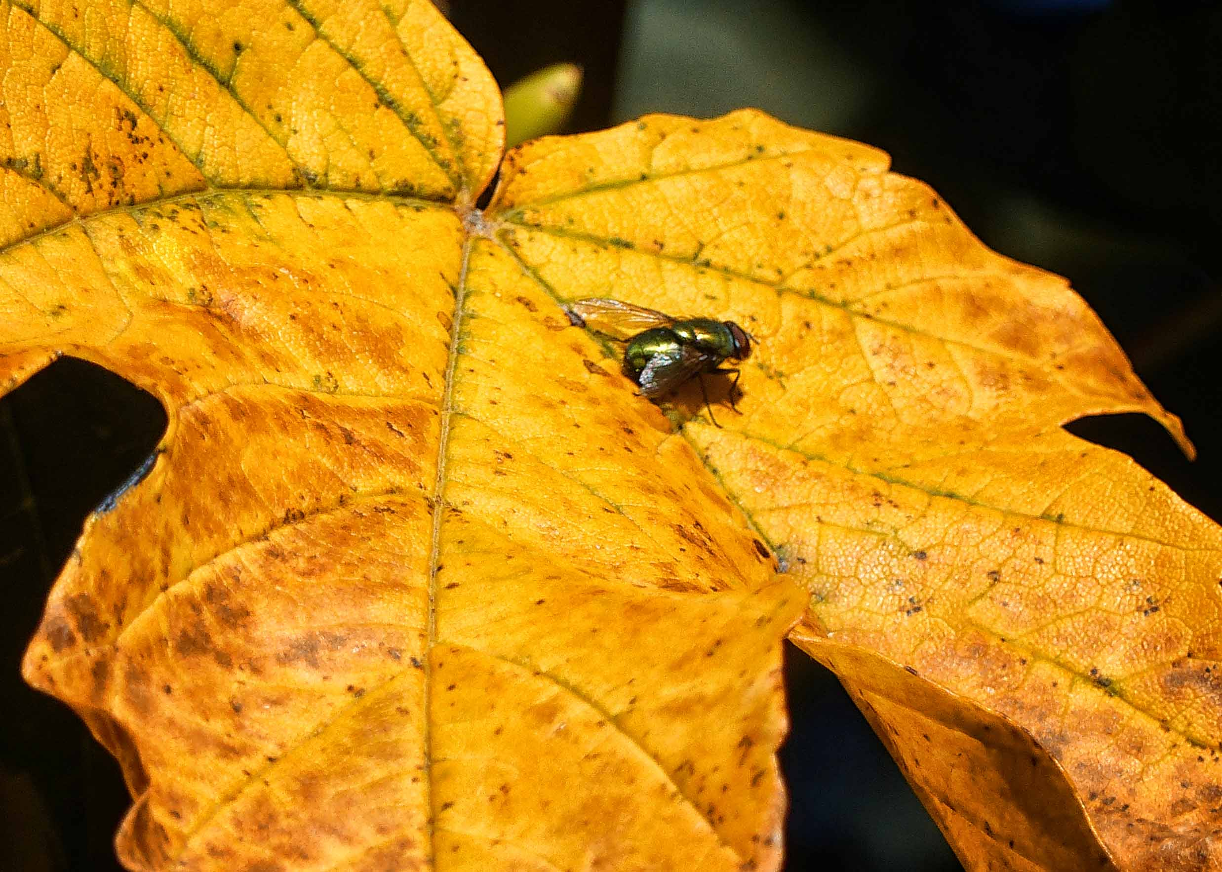 Metallic green fly on a yellow leaf
