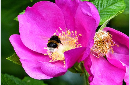 Bee on a bright pink flower