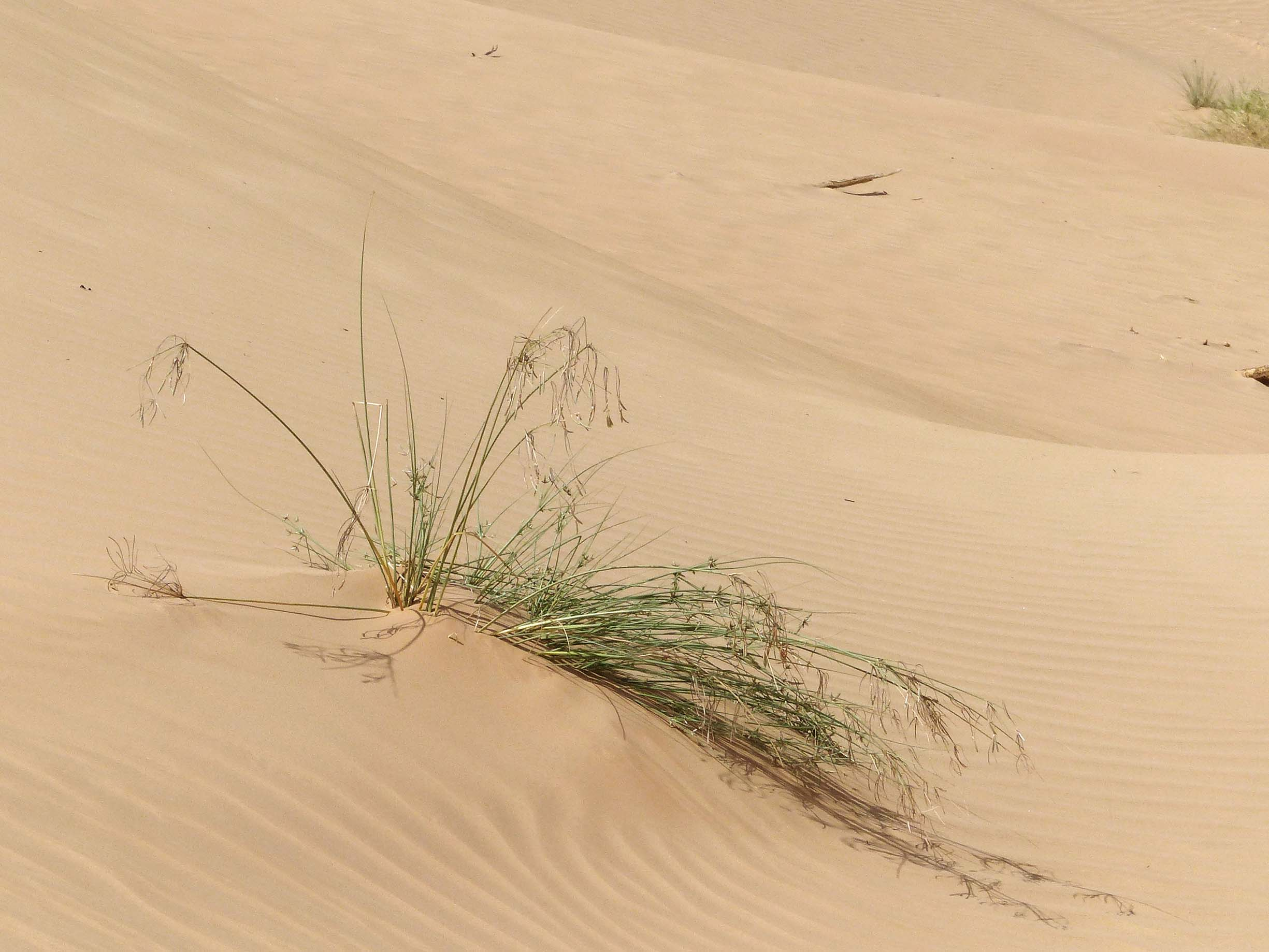 Small clump of grass on a sand dune