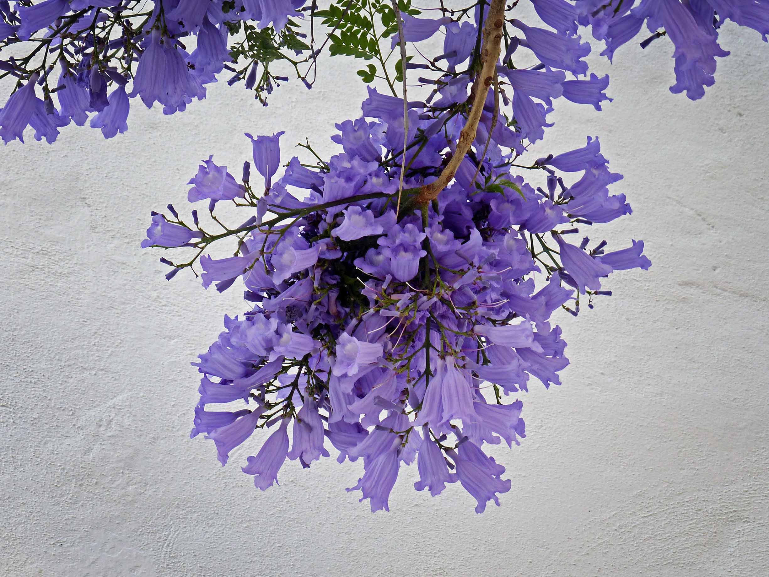 Small mauve flowers against a whitewashed wall