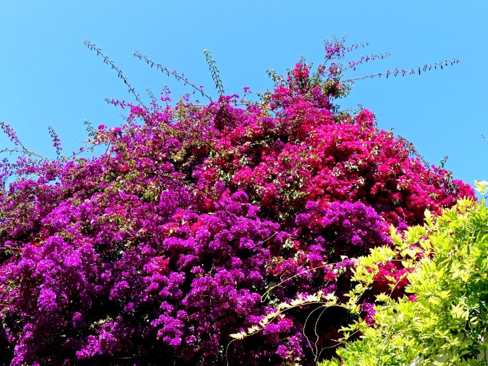 Bush of bright mauve flowers against a blue sky