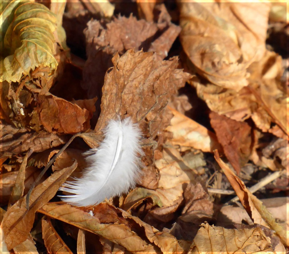 White feather among brown leaves