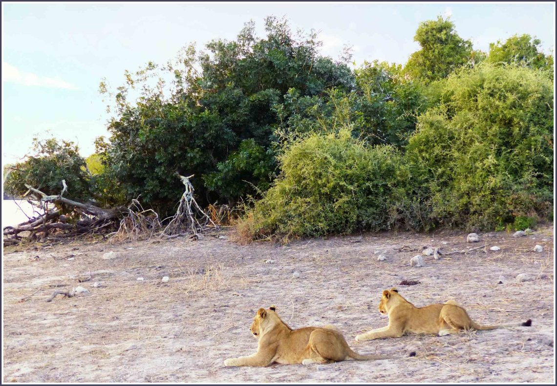 Two lions on a sandy river bank