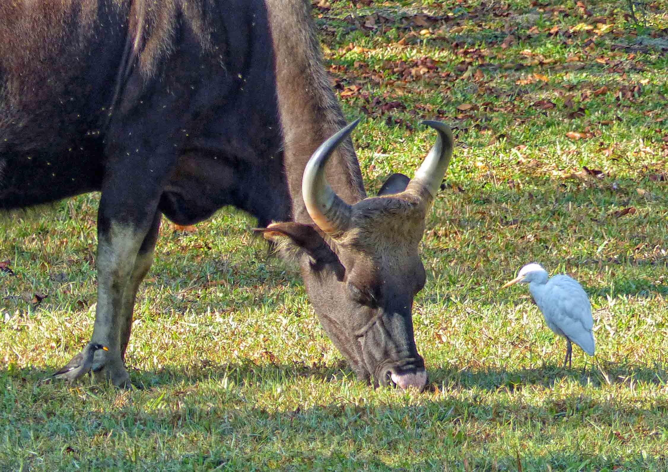 Horned bison grazing, watched by a white bird