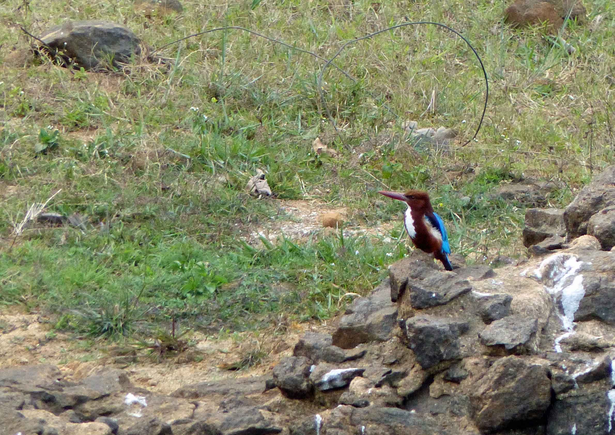 Small brown and blue bird on rocky ground