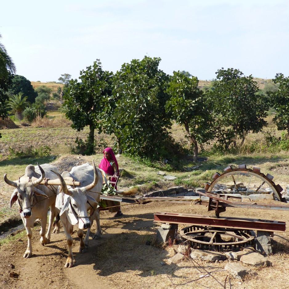 Woman in pink sari guiding oxen turning a large wheel
