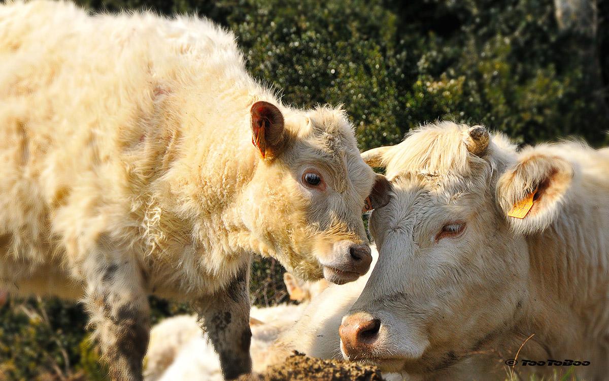 Vache sur le plateau ardèchois