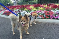 Pomeranian meet up