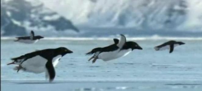 leteći pingvni