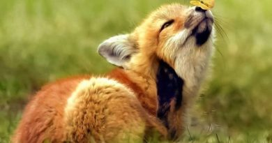 Klara Krmpotić: Lisica i vuk