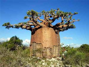 Los 10 árboles más impactantes del mundo