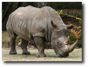 1. Rinoceronte Negro