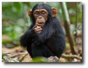 1. Chimpanc+®
