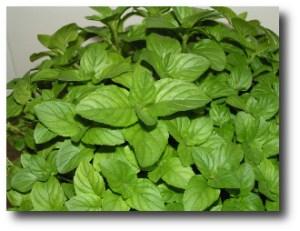 2. hojas de menta