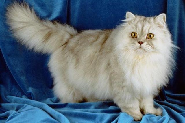 Las 10 razas de gatos más populares