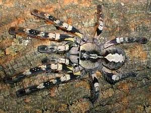 9. Tarantula ornamental