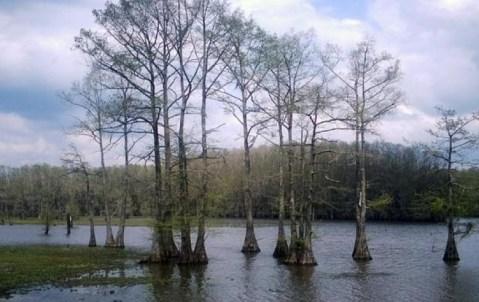Bosque del lago Caddo