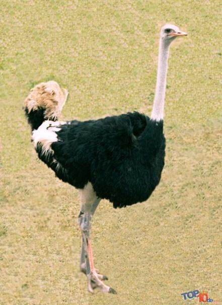 El avestruz