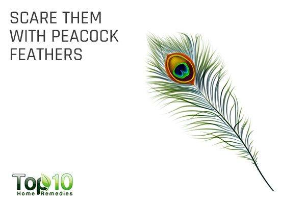 keep lizards away with peacock feathers
