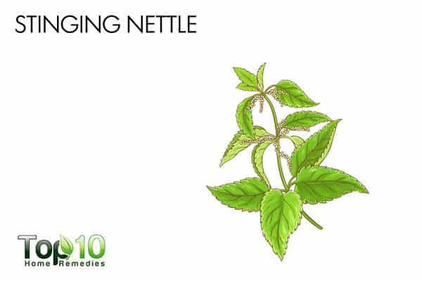 stinging nettle relieves allergy