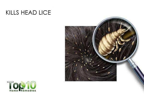 eucalyptus oil kills head lice